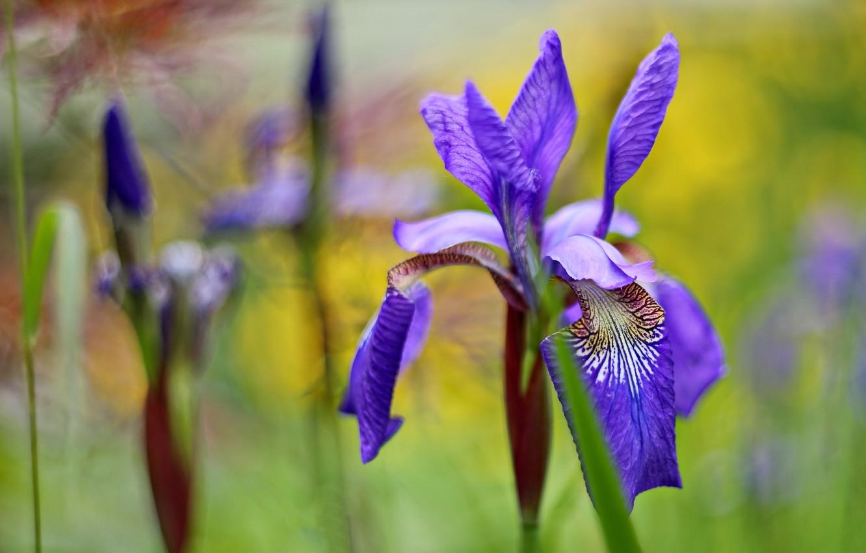 Photo wallpaper flowers, irises, lilac, bokeh, iris