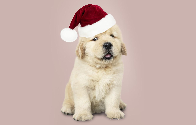 Photo wallpaper dog, New Year, Christmas, puppy, Santa, Labrador, Christmas, puppy, dog, New Year, cute, Merry, santa …