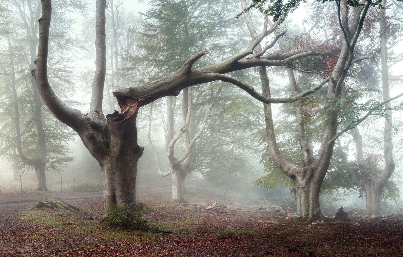 Photo wallpaper forest, fog, tree