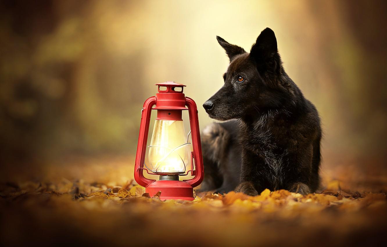 Photo wallpaper autumn, leaves, dog, lantern, bokeh
