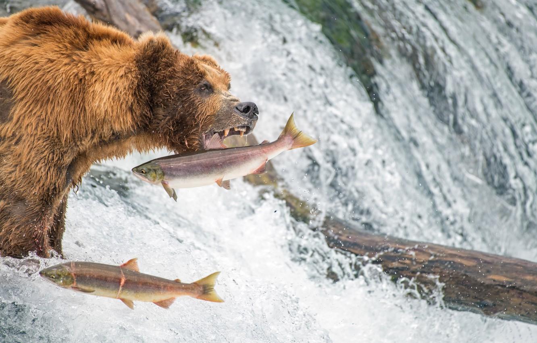 Photo wallpaper fishing, waterfall, fish, bear, Alaska, grizzly, salmon