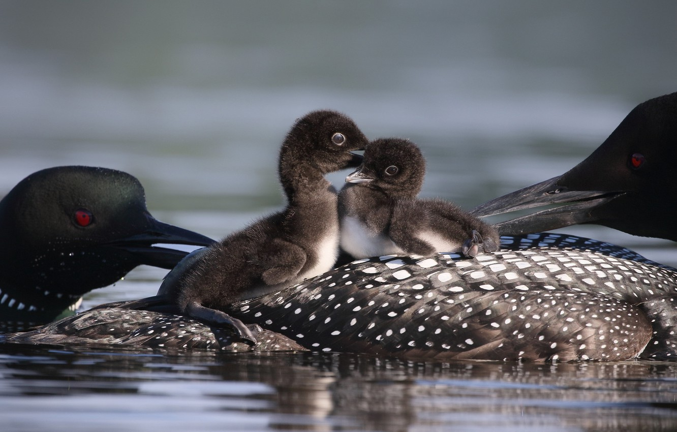 Photo wallpaper water, birds, two, family, kids, a couple, care, two, Chicks, pond, family, brood, loons