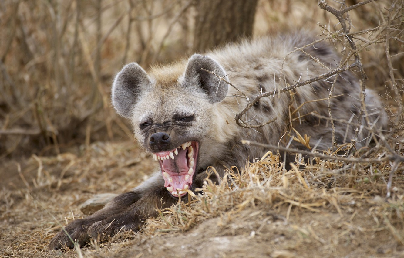 Photo wallpaper mouth, hyena, yawn