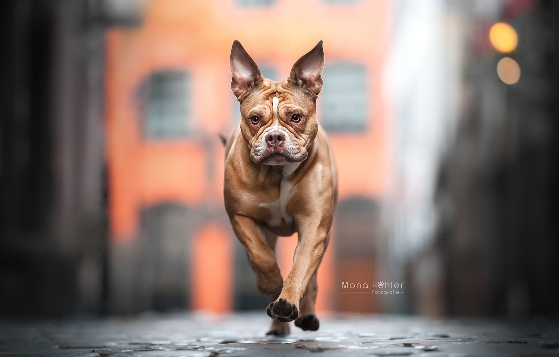 Photo wallpaper face, street, dog, walk, bokeh