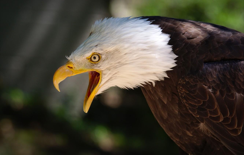 Photo wallpaper eyes, background, bird, eagle, feathers, beak