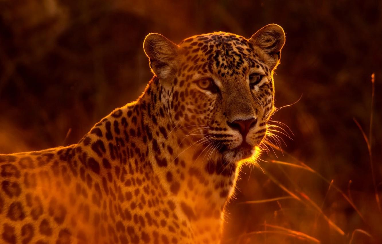 Photo wallpaper cat, predator, leopard