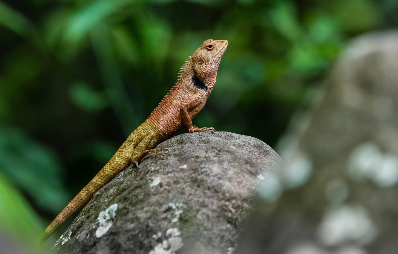 Photo wallpaper nature, stone, lizard, reptile, amphibian