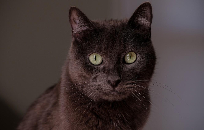 Photo wallpaper cat, cat, look, face, portrait, brown, chocolate