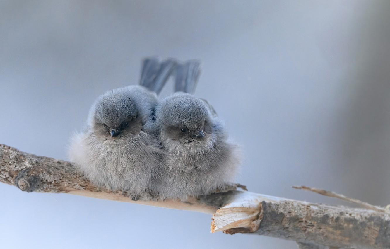 Photo wallpaper birds, background, branch, birds, a couple, Gray Junco