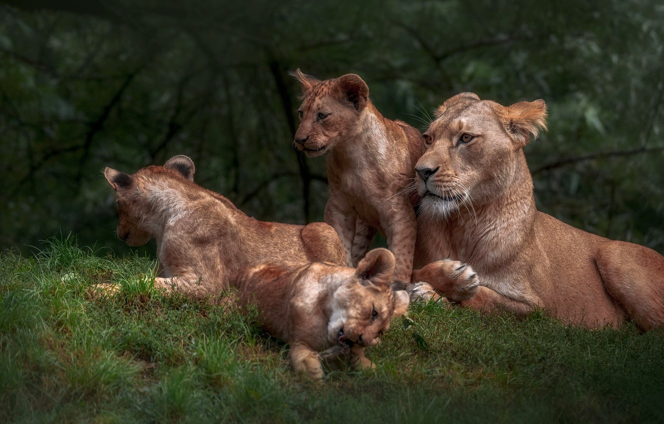 Photo wallpaper glade, kids, lions, the cubs, lioness, mom, lion, lion, brood