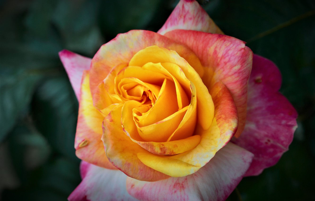 Photo wallpaper macro, rose, petals, Bud, bright