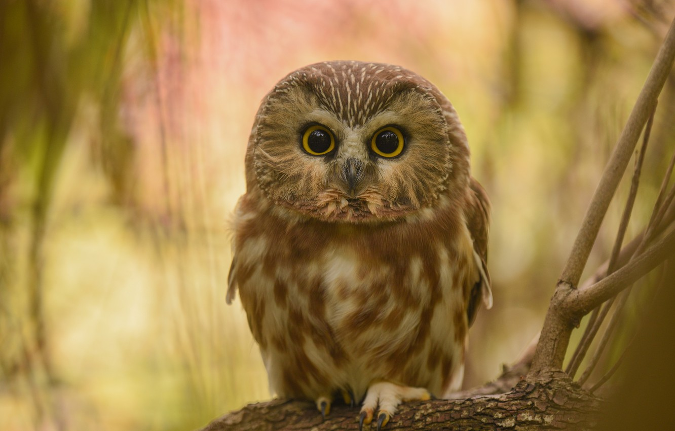 Photo wallpaper look, branches, owl, bird, bokeh, owl