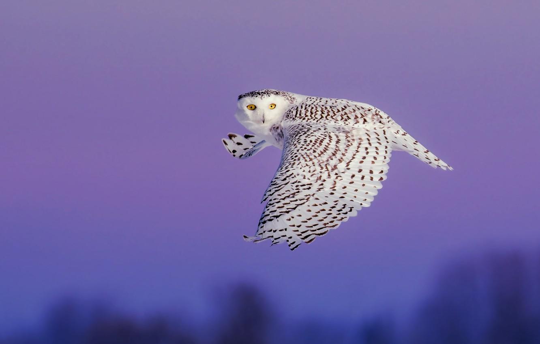 Photo wallpaper the sky, look, flight, owl, bird, wings, white, twilight, flies, polar, the scope, snowy owl, …