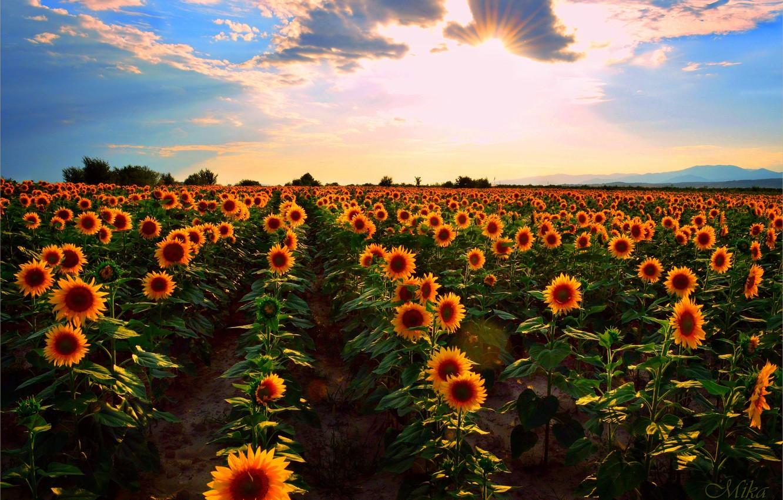 Wallpaper Sunset Field Summer Sunflowers Sunset Summer Field Sunflowers Images For Desktop Section Pejzazhi Download