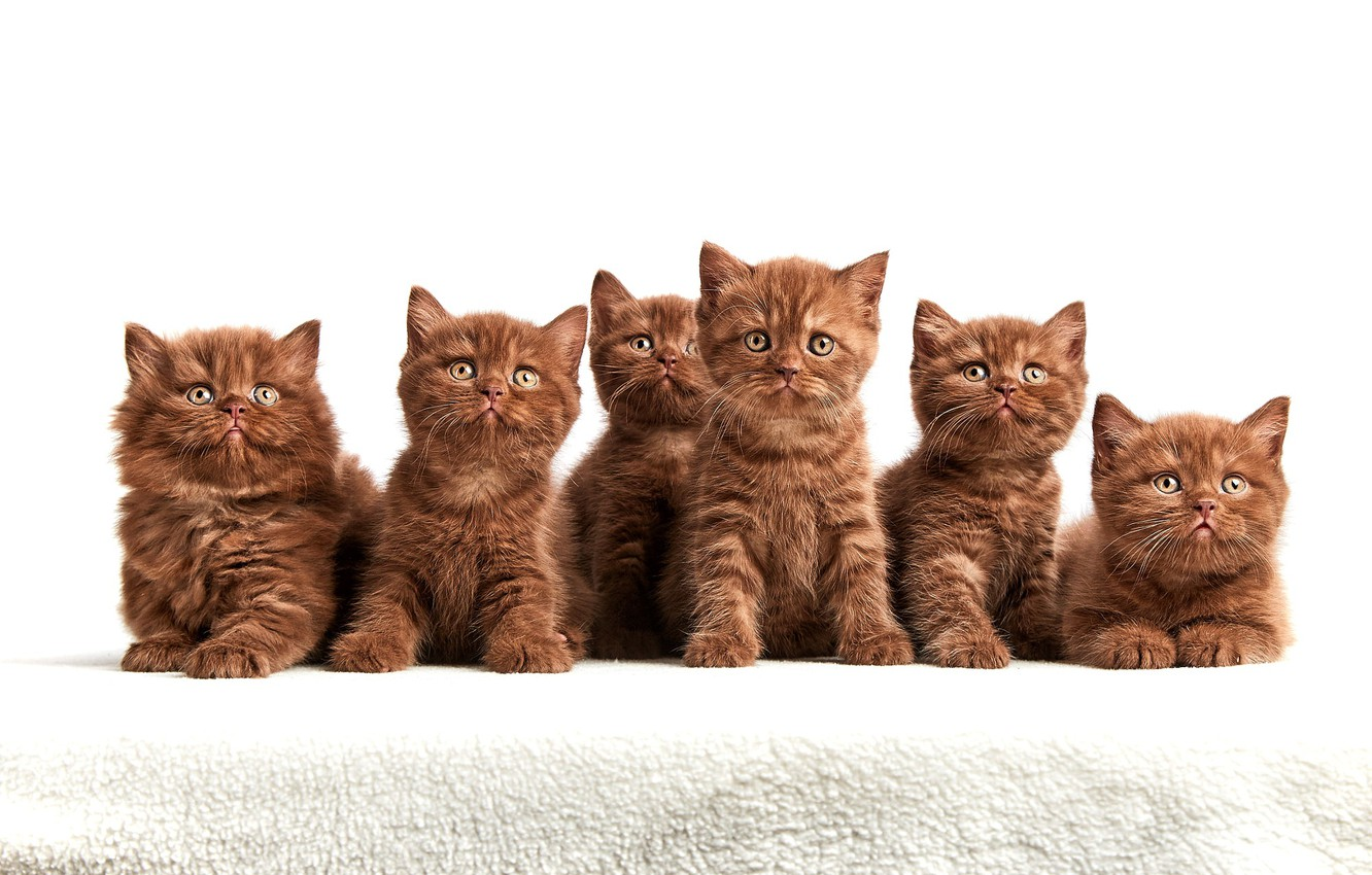 Photo wallpaper look, kittens, white background, company, brown, cuties, a lot, faces, sitting, chocolate, British