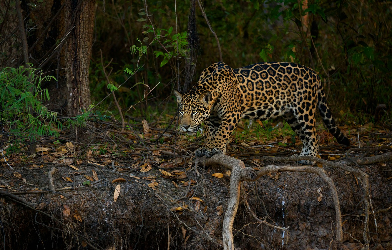 Photo wallpaper forest, look, leaves, branches, roots, jungle, Jaguar