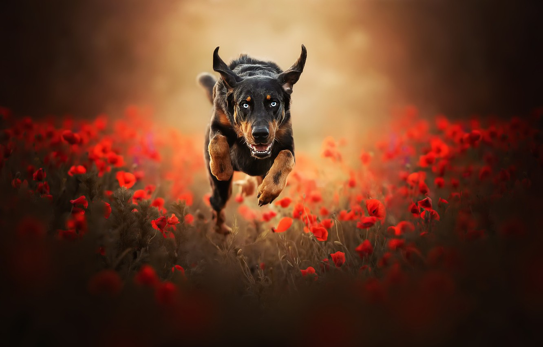 Photo wallpaper Maki, dog, running
