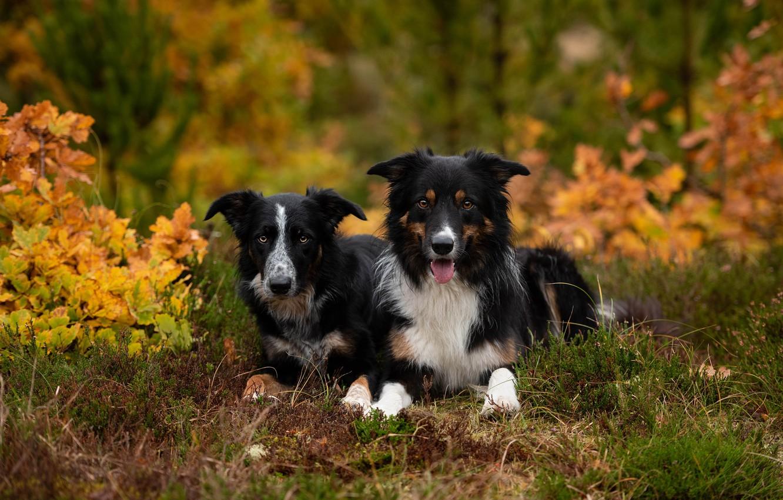 Photo wallpaper autumn, forest, dogs, look, nature, Park, foliage, pair, a couple, Duo, black, lie