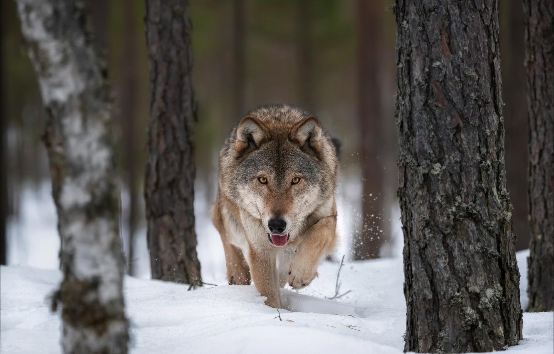 Photo wallpaper winter, snow, trees, wolf, predator, the orderly forest, Vlad Sokolovsky