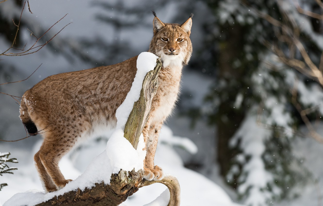 Photo wallpaper winter, forest, snow, trees, nature, lynx, bokeh