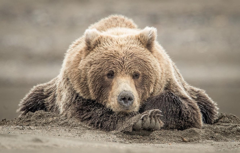 Photo wallpaper sand, look, face, bear, The Bruins