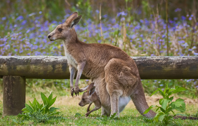 Photo wallpaper baby, kangaroo, bag, mom