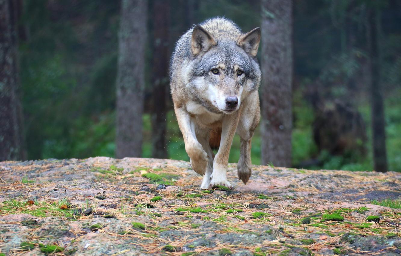 Photo wallpaper forest, predator, wolf