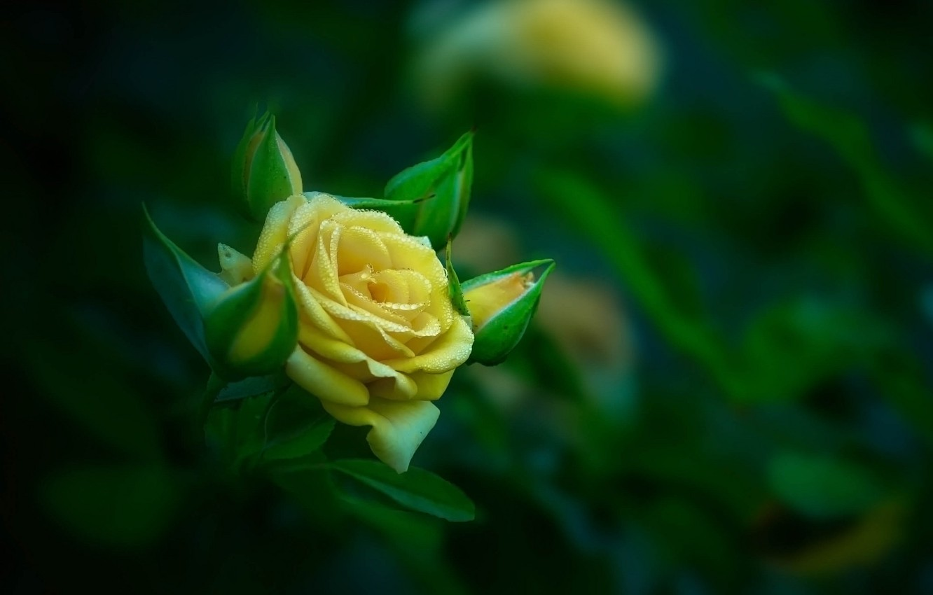 Photo wallpaper rose, buds, flower, yellow, roses