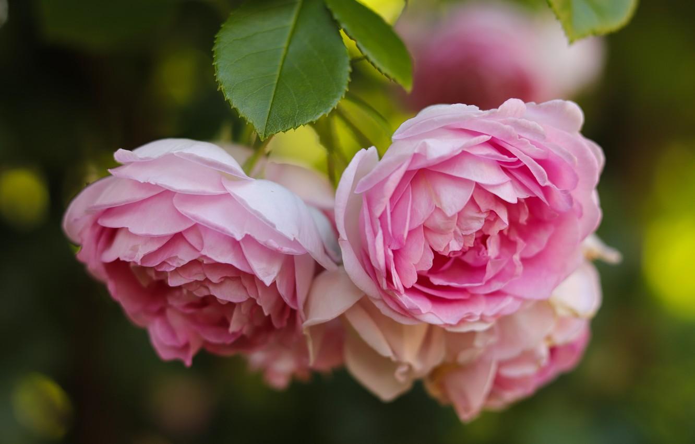 Photo wallpaper flowers, Bush, roses, pink, tea rose