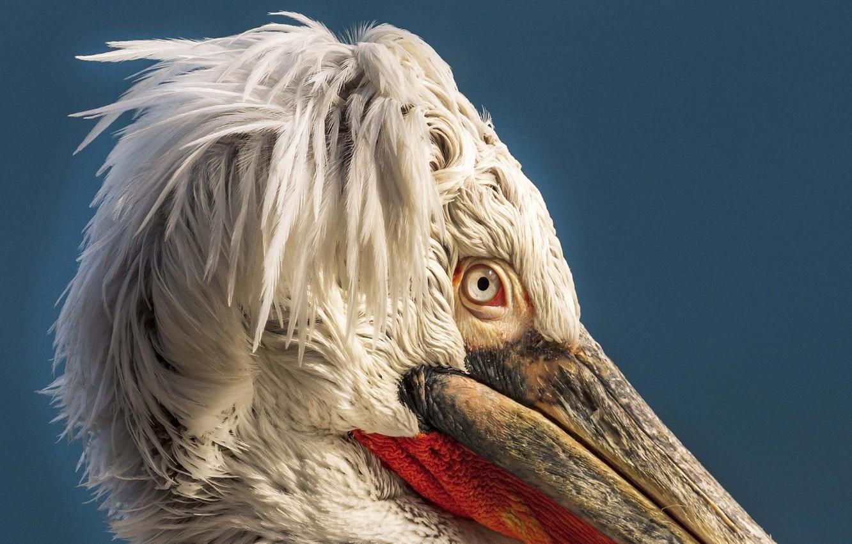 Photo wallpaper bird, Macro, Pelican