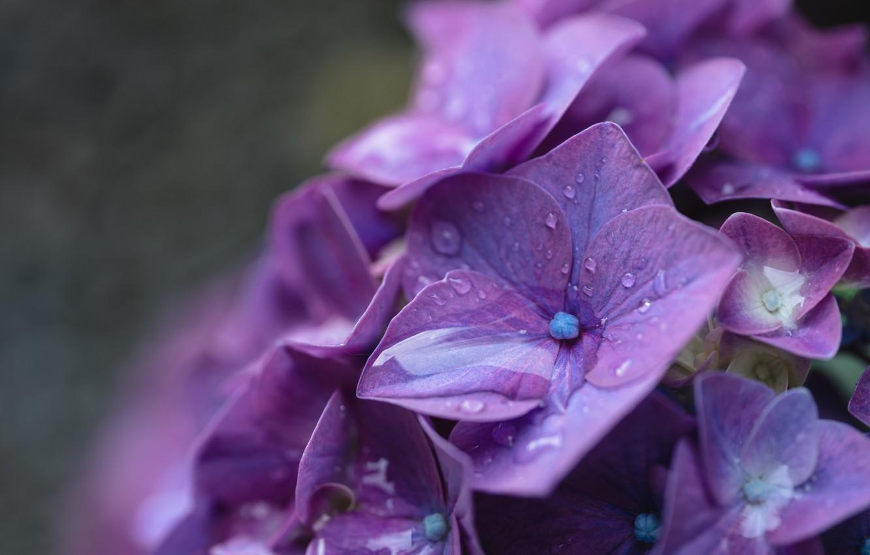 Photo wallpaper drops, macro, Rosa, flowers, hydrangea