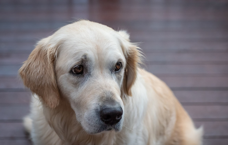 Photo wallpaper dog, Labrador Retriever, Fleur Walton