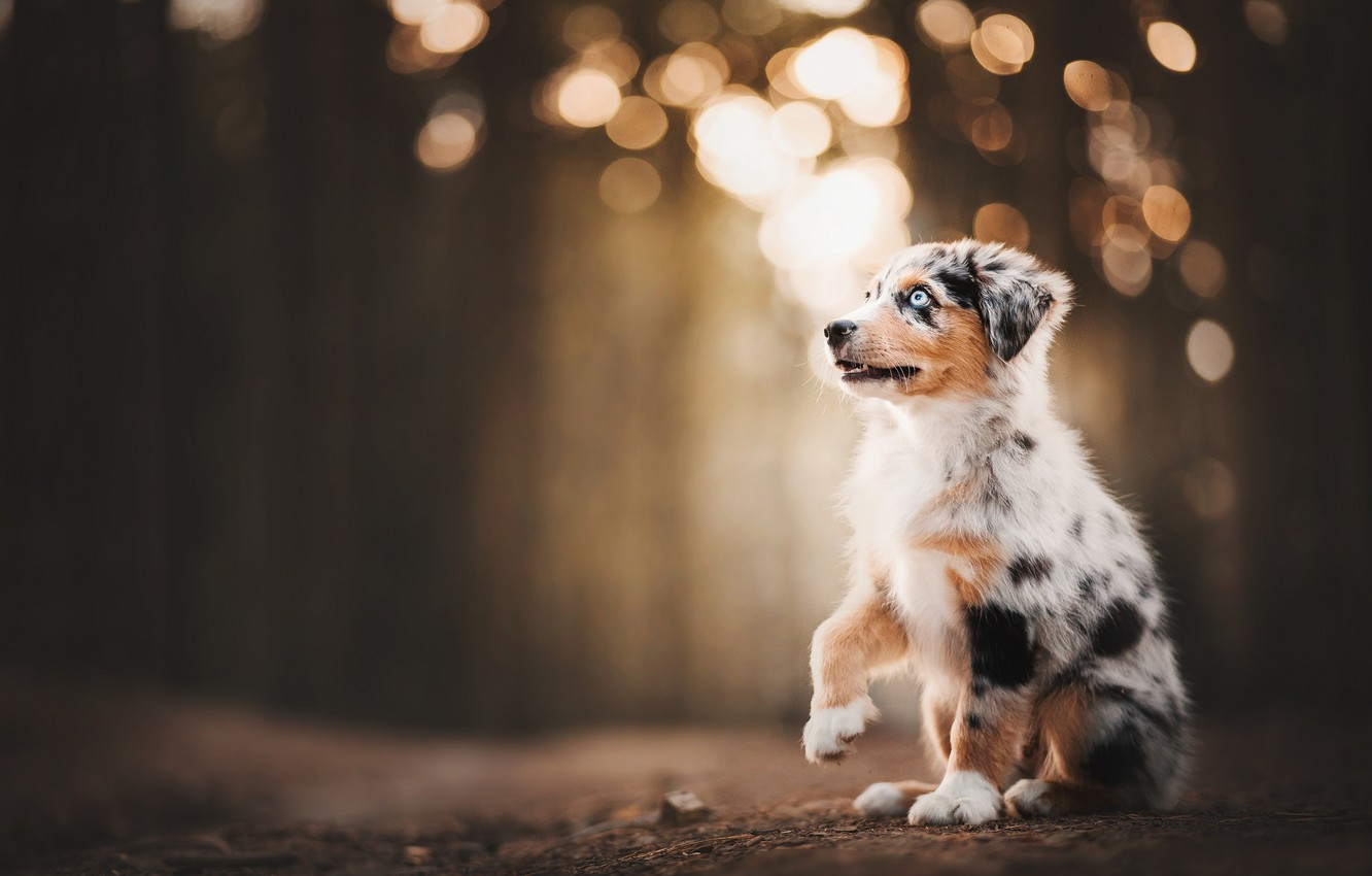Photo wallpaper puppy, bokeh, doggie, foot, Australian shepherd, Aussie