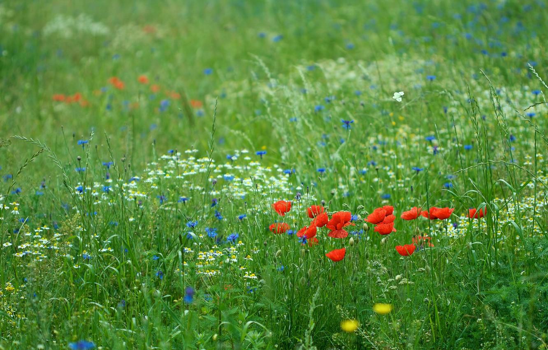 Photo wallpaper greens, field, summer, flowers, glade, Maki, meadow, green background, cornflowers, blooming, floral