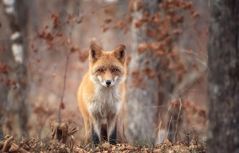 Photo wallpaper autumn, forest, trees, nature, animal, foliage, Fox, Fox