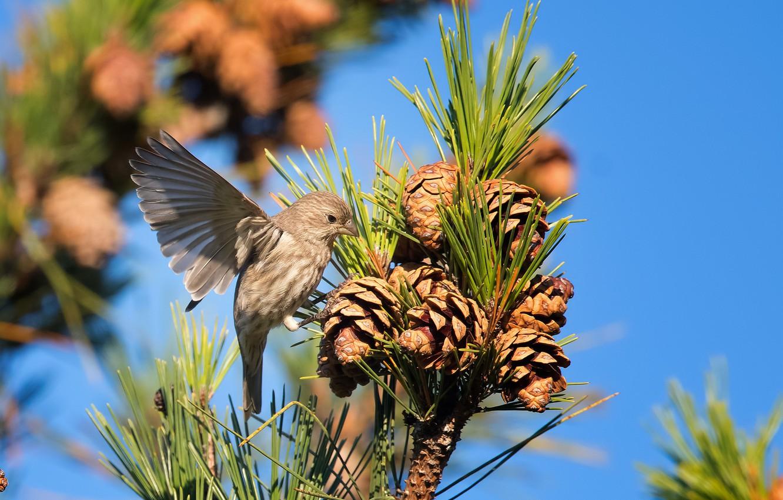 Photo wallpaper bird, branch, needles, bumps