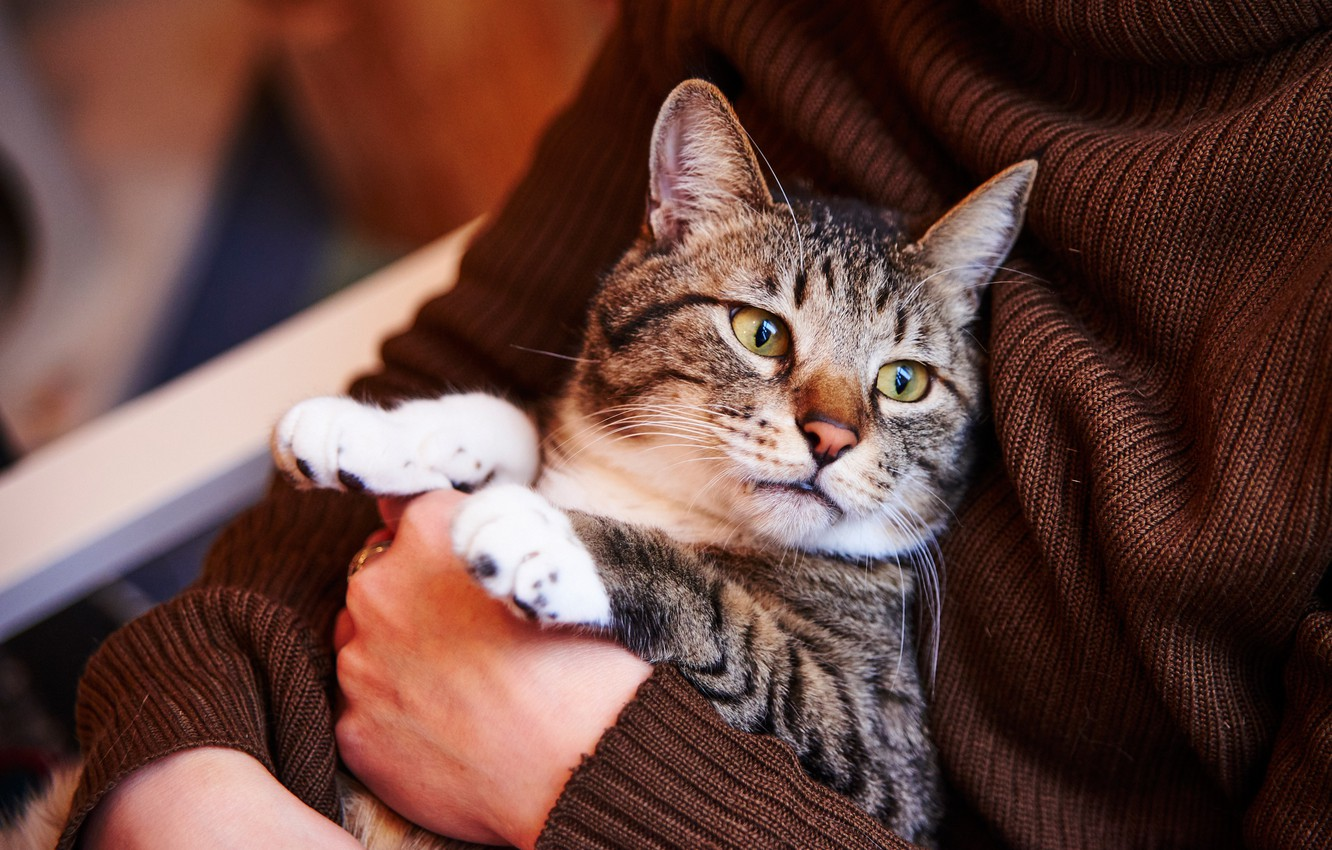 Photo wallpaper cat, cat, look, face, pose, grey, background, paws, hands, jacket, sitting, brown, mistress, striped, Kote, …