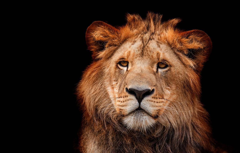 Photo wallpaper eyes, look, face, close-up, portrait, Leo, black background, wild cat, lion, lion, young, teen