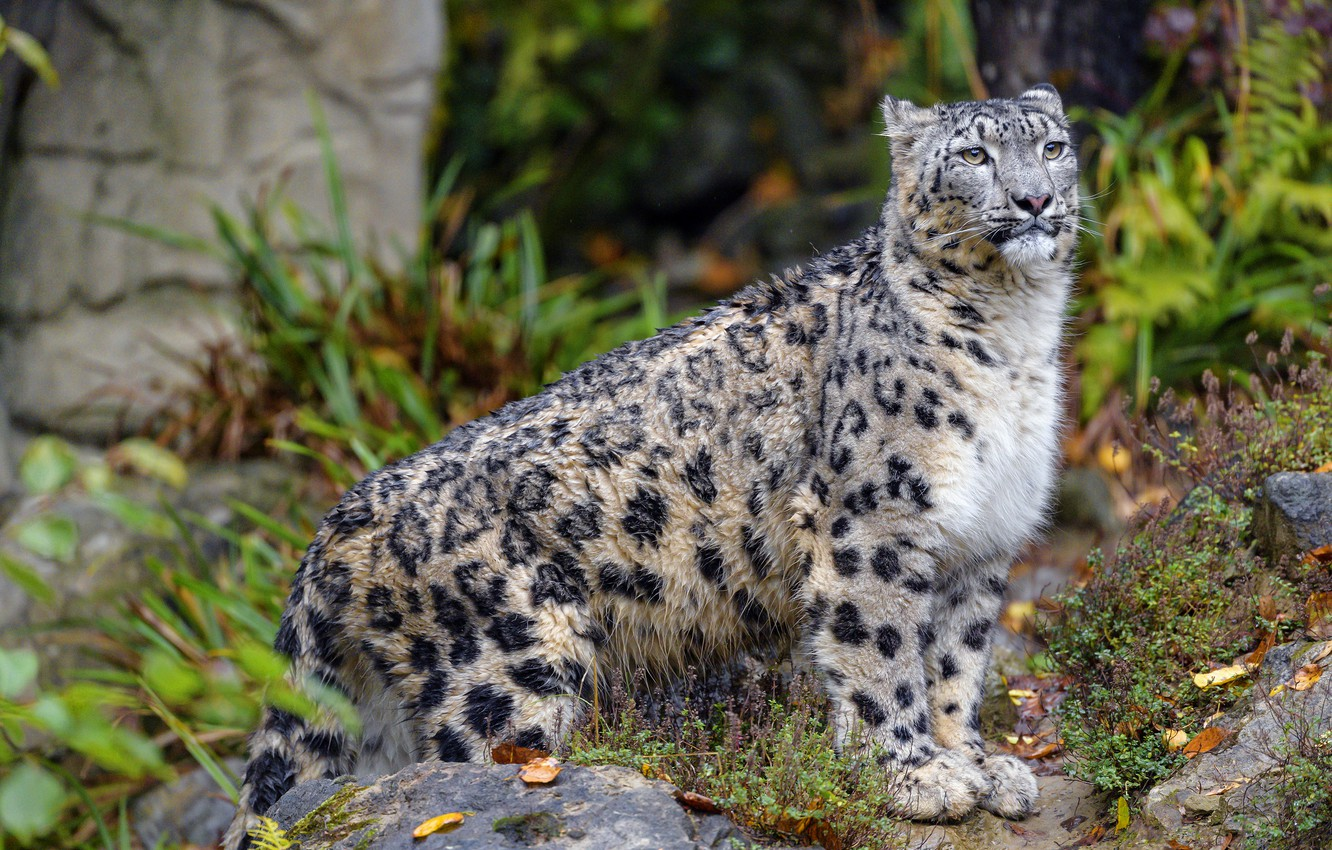 Photo wallpaper autumn, look, leaves, nature, pose, stones, IRBIS, snow leopard, is