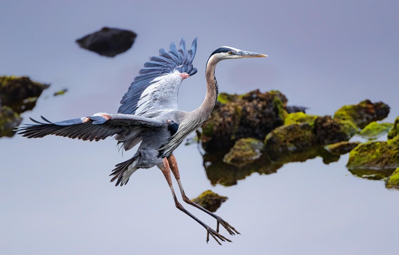 Photo wallpaper bird, wings, Heron, great blue Heron