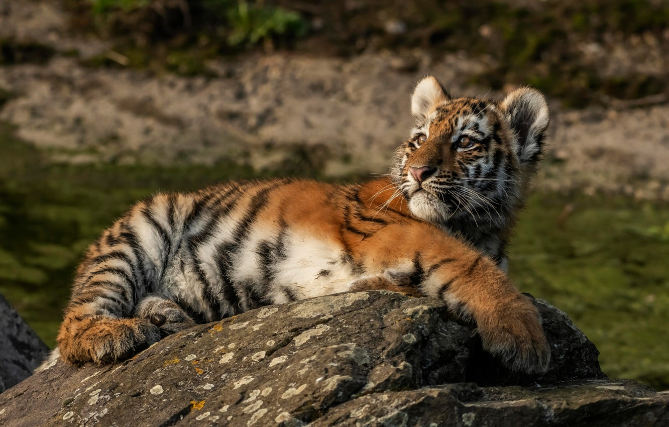 Photo wallpaper look, nature, tiger, pose, stones, background, stay, baby, lies, wild cat, tiger, tiger