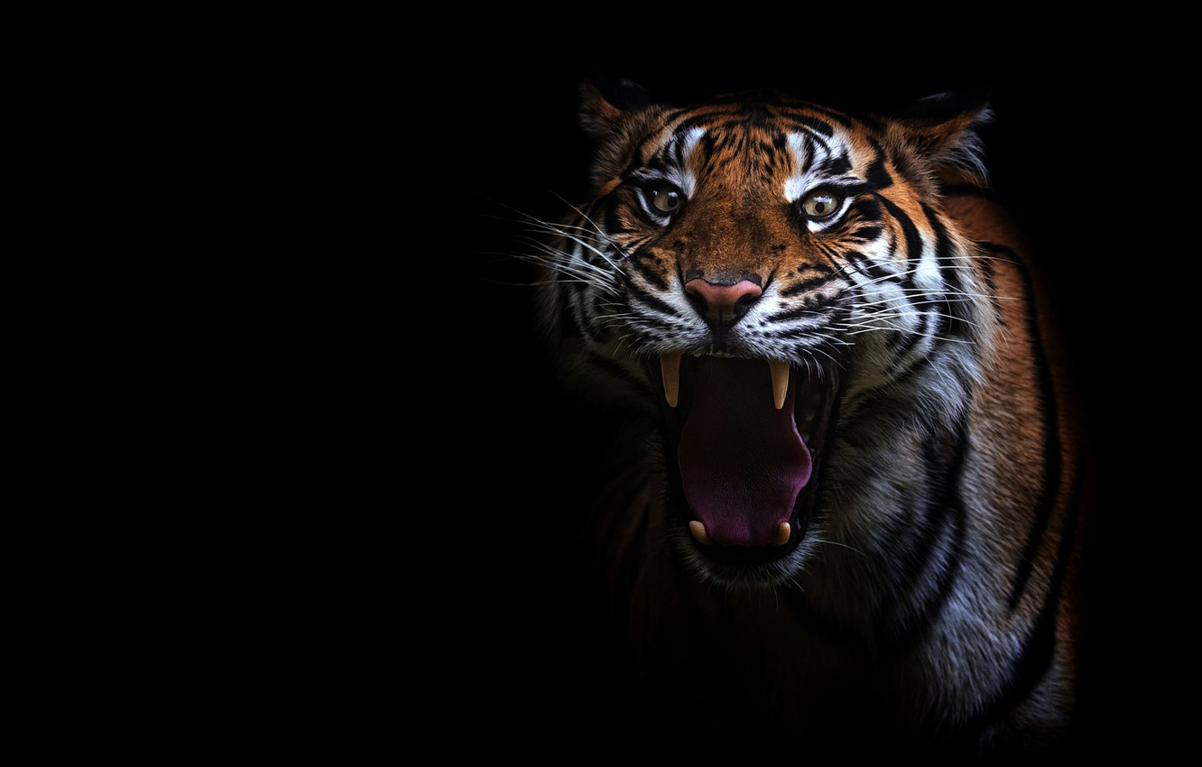 Photo wallpaper language, eyes, look, face, tiger, portrait, teeth, mouth, fangs, evil, black background, unhappy, aggression, wild …