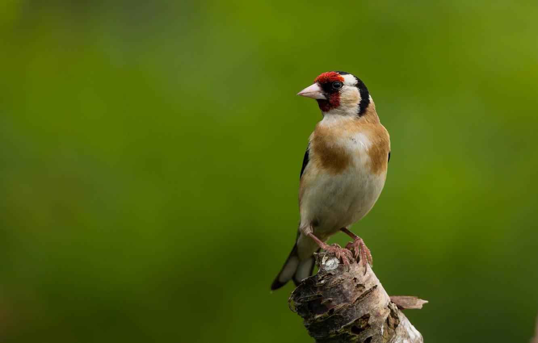 Photo wallpaper bird, goldfinch, bird