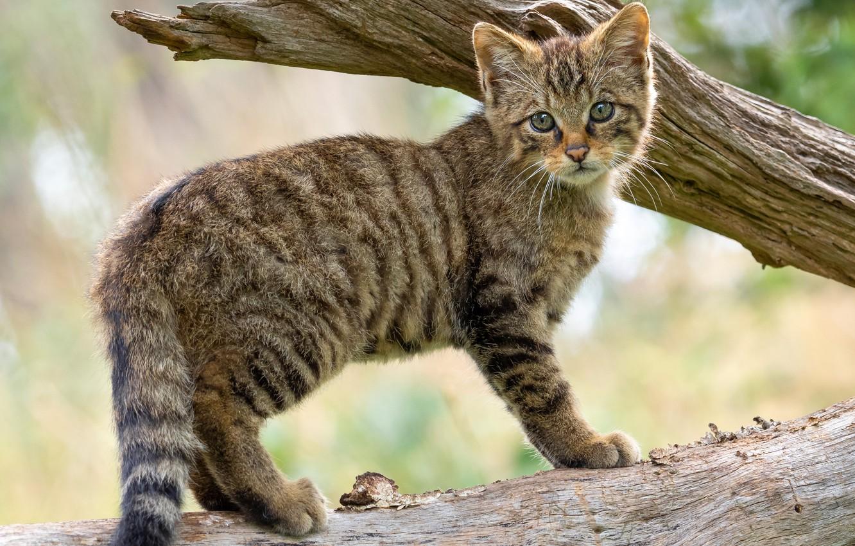 Photo wallpaper cat, branches, kitty, tree, cub, wild, forest, wildcat, wild cat