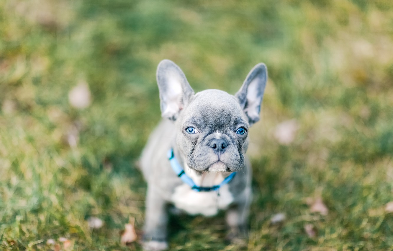 Photo wallpaper look, background, dog, blur, baby, puppy, face, doggie, French bulldog