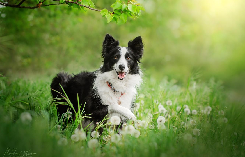 Photo wallpaper grass, dog, dandelions, breed
