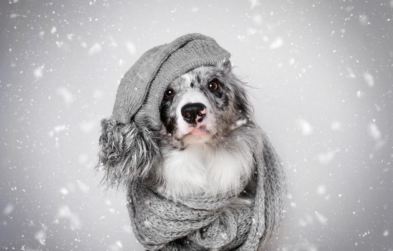 Photo wallpaper winter, look, face, snow, heat, grey, background, hat, portrait, dog, scarf, fur, grey, snowfall, the …