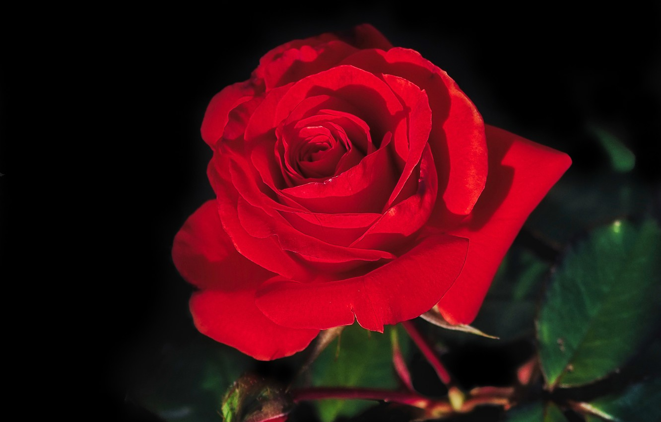 Photo wallpaper macro, rose, petals, Bud, red, scarlet, black background