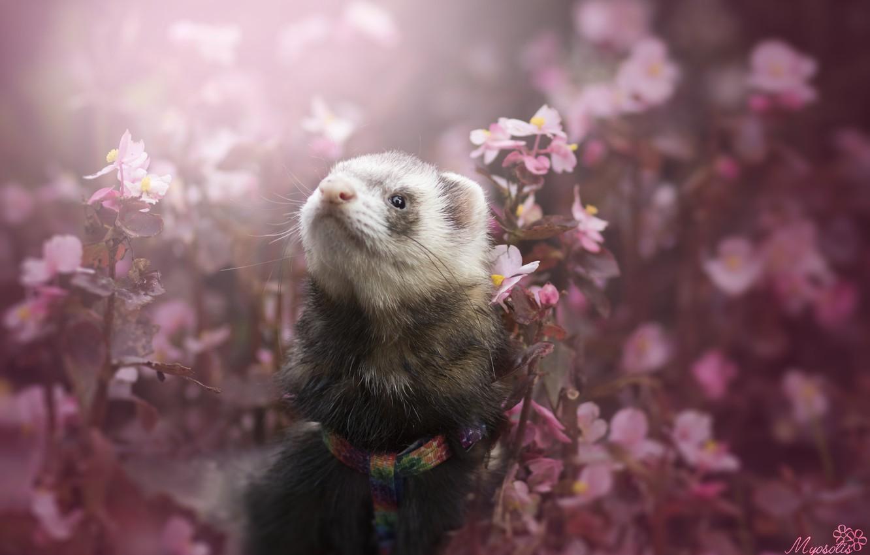 Photo wallpaper flowers, ferret, by MyosotisPhoto