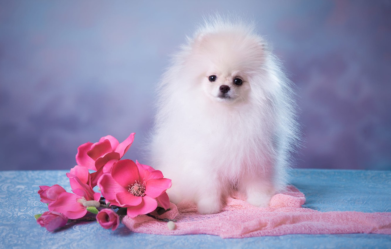 Wallpaper White Look Flowers Pose Background Blue Portrait Dog Bouquet Fluffy Baby Muzzle Cute Puppy Fabric Pink Images For Desktop Section Sobaki Download